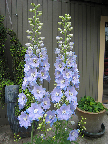 Delphinium  photo